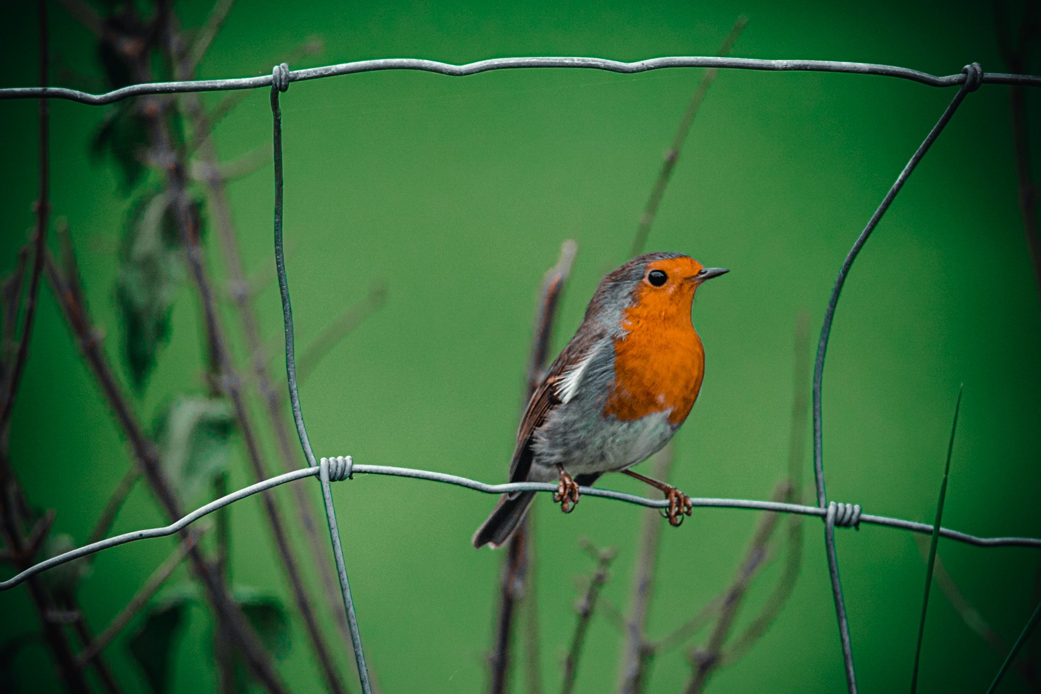 Robin Redbreast – FREE Downloadable Images